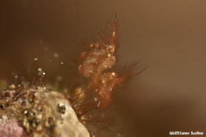 Hairy Shrimp (Phycocaris simulans) - A grandmaster in cam... by William Loke 